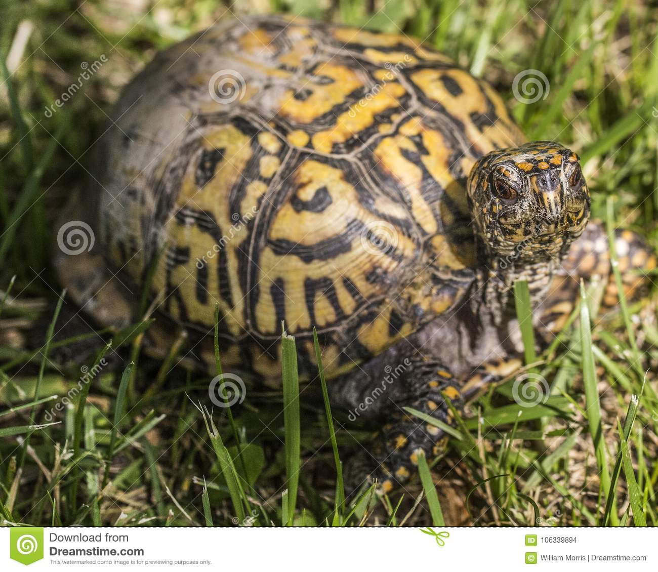 Easter box turtle looking at me.