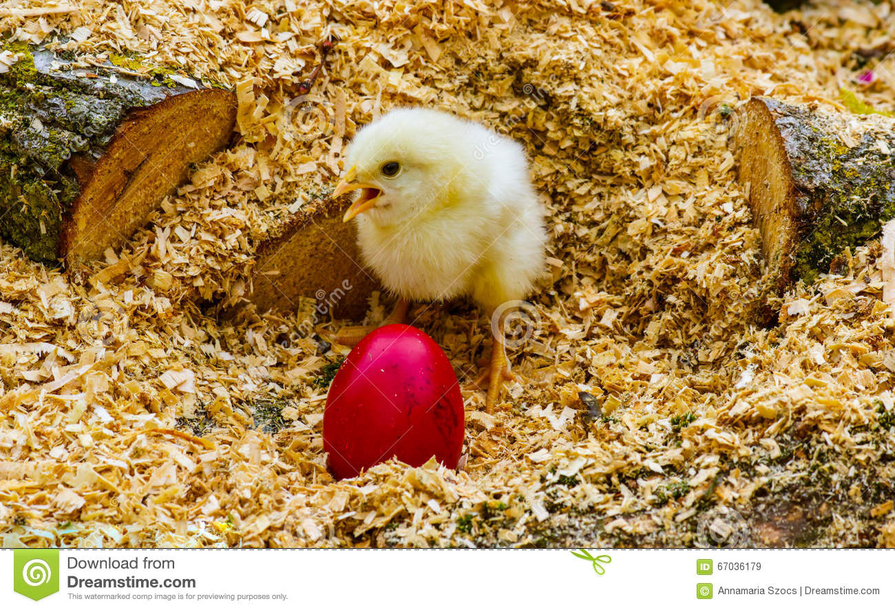 Chicken Sitting On Eggs: Easter Stock Photo