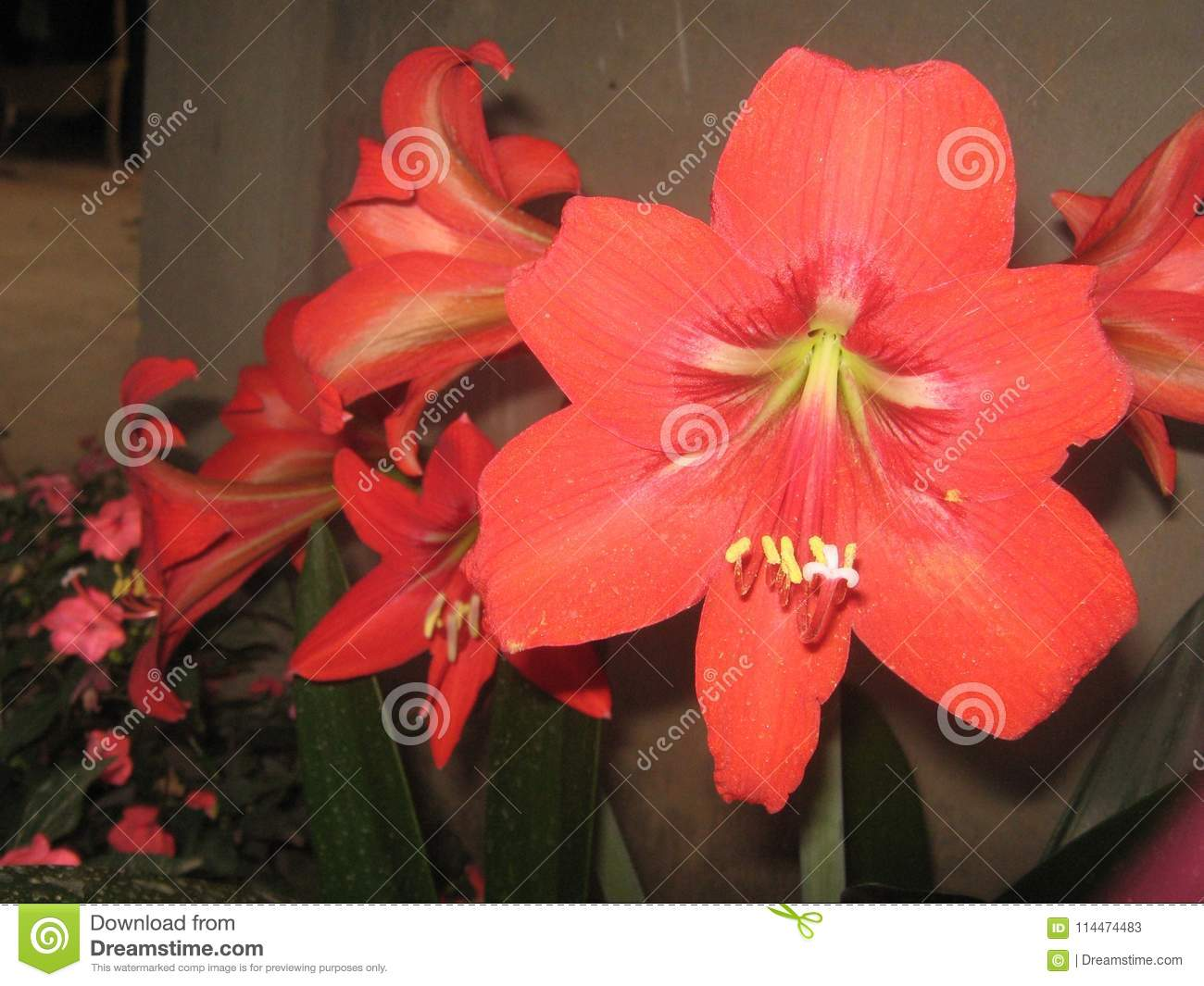 Easter Lily Stock Image Image Of Blossoming Natural 114474483