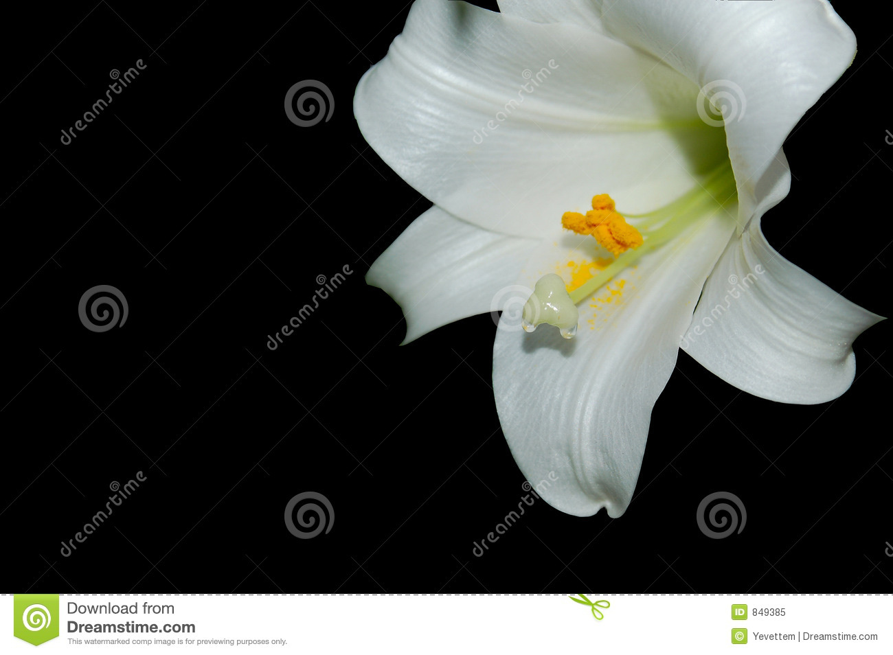 Easter Lily Dripping Nectar