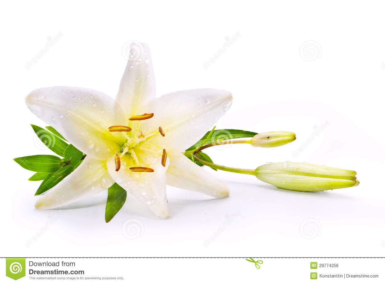 Art Easter Lily Flower Isolated On White Background Stock Photo ...