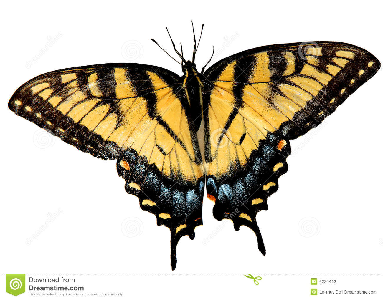 Easter Tiger Swallowtail Butterfly opening wings isolated on white ...