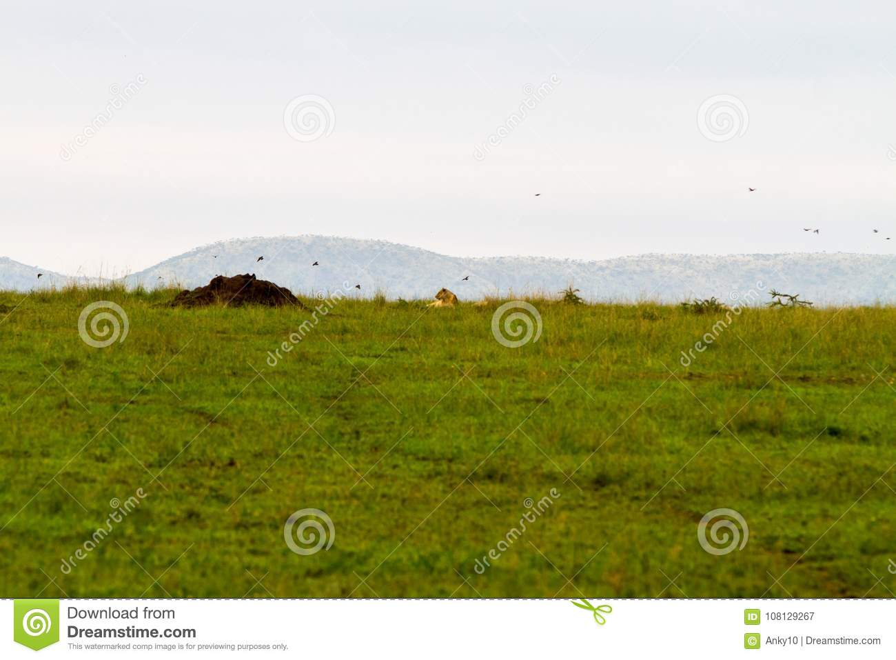 Eastern African lioness Panthera leo in Serengeti