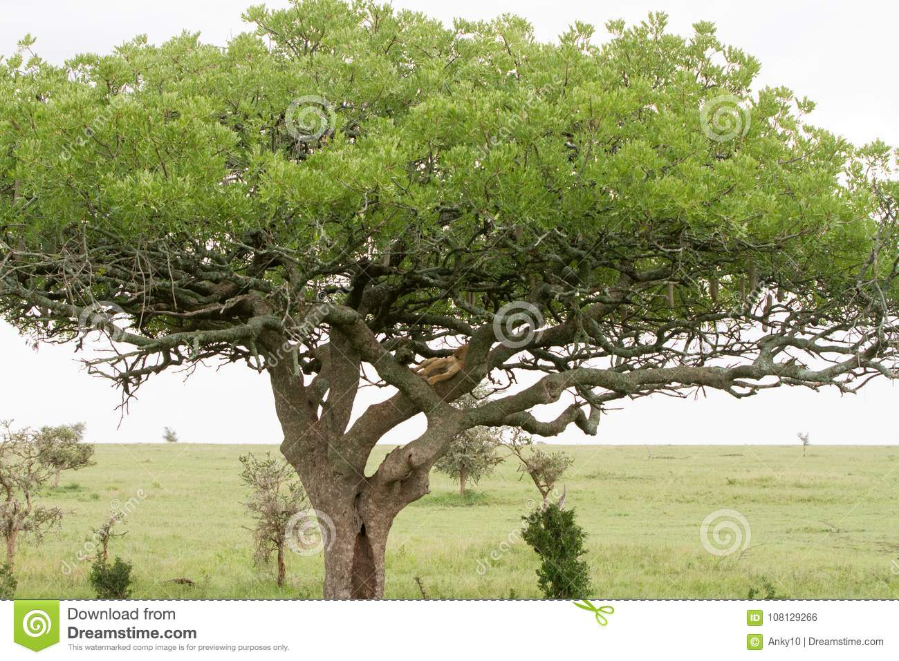 Eastern African lioness Panthera leo in tree