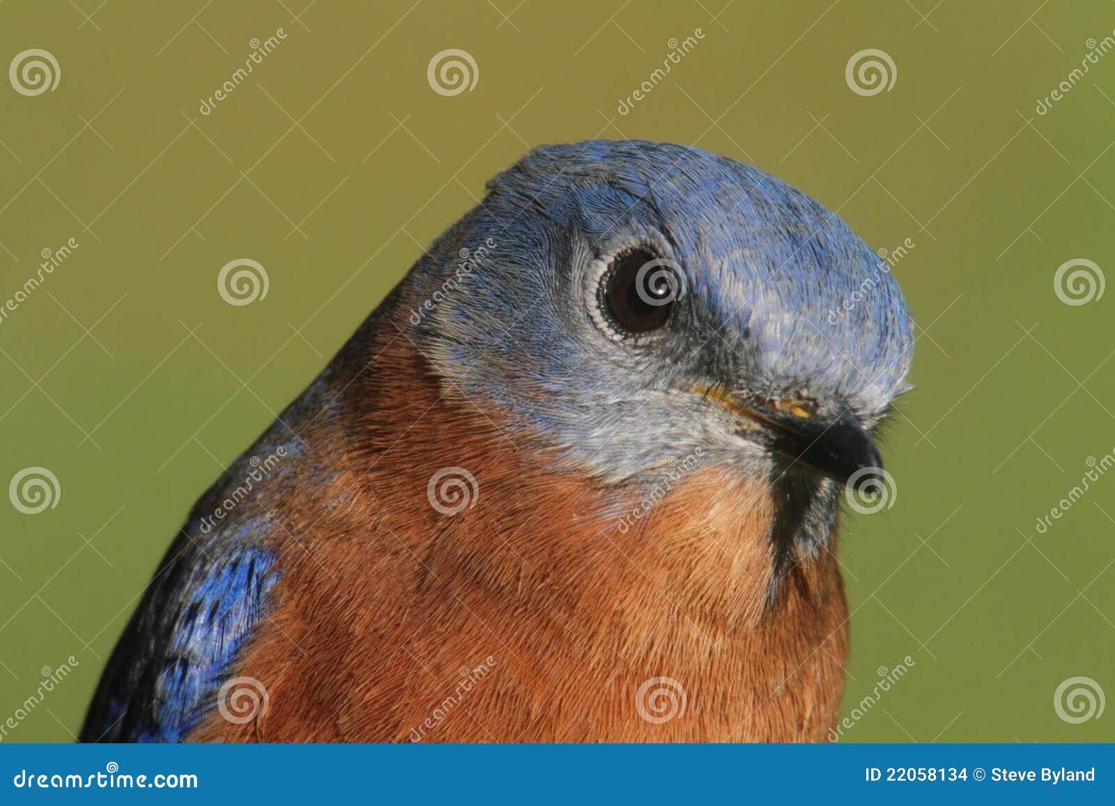 eastern bluebird closeup stock images