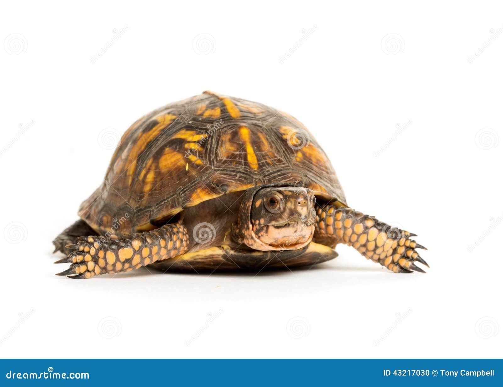 eastern box turtle stock photo image 43217030