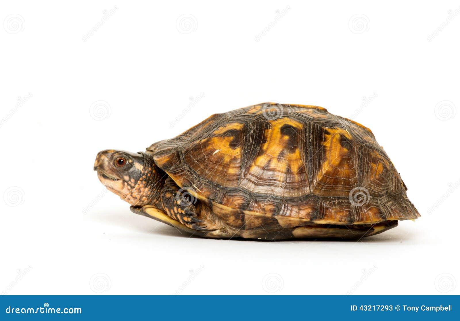 eastern box turtle stock image image of animal eastern