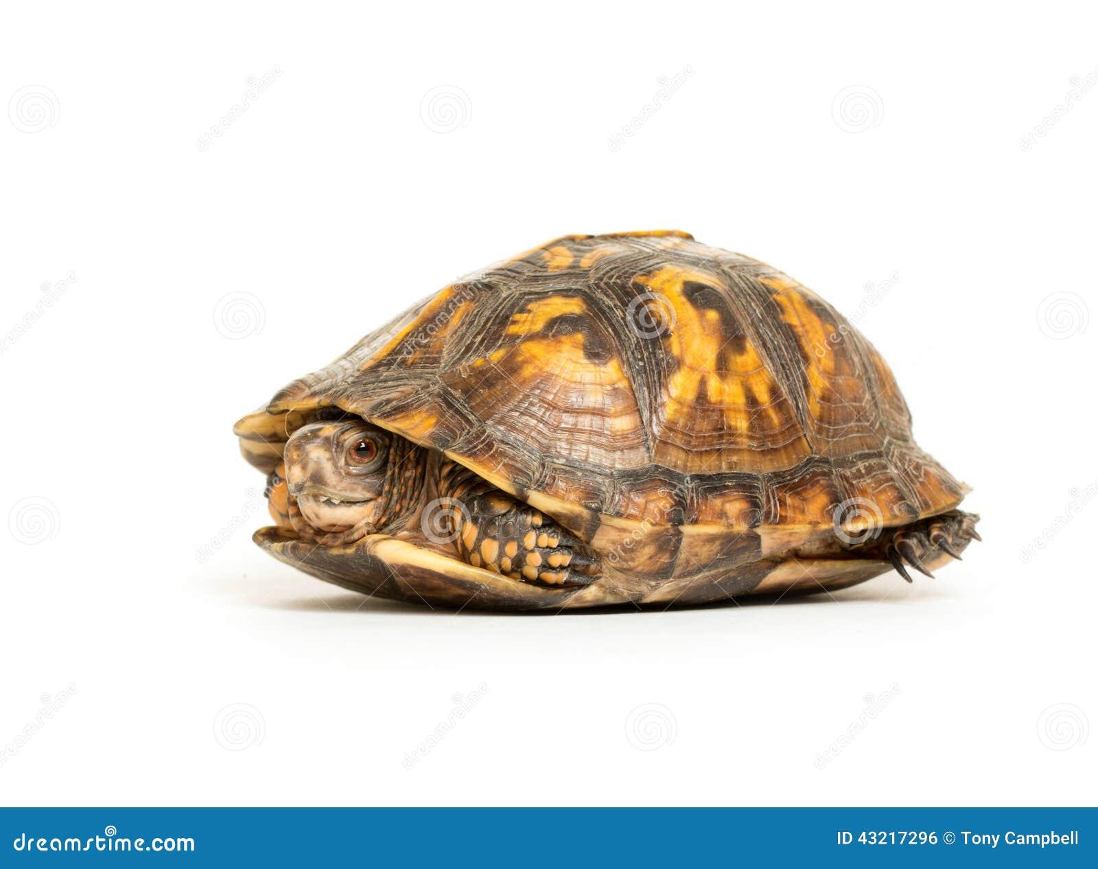 eastern box turtle stock photo image 43217296