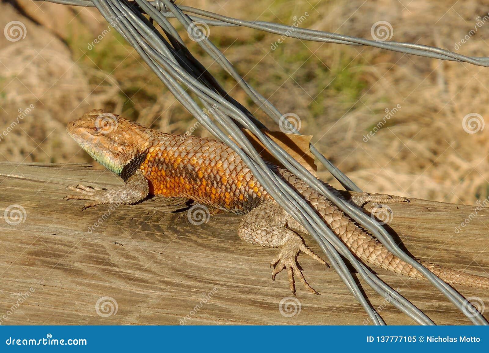 Desert Spiny Lizard on a Fence Rail