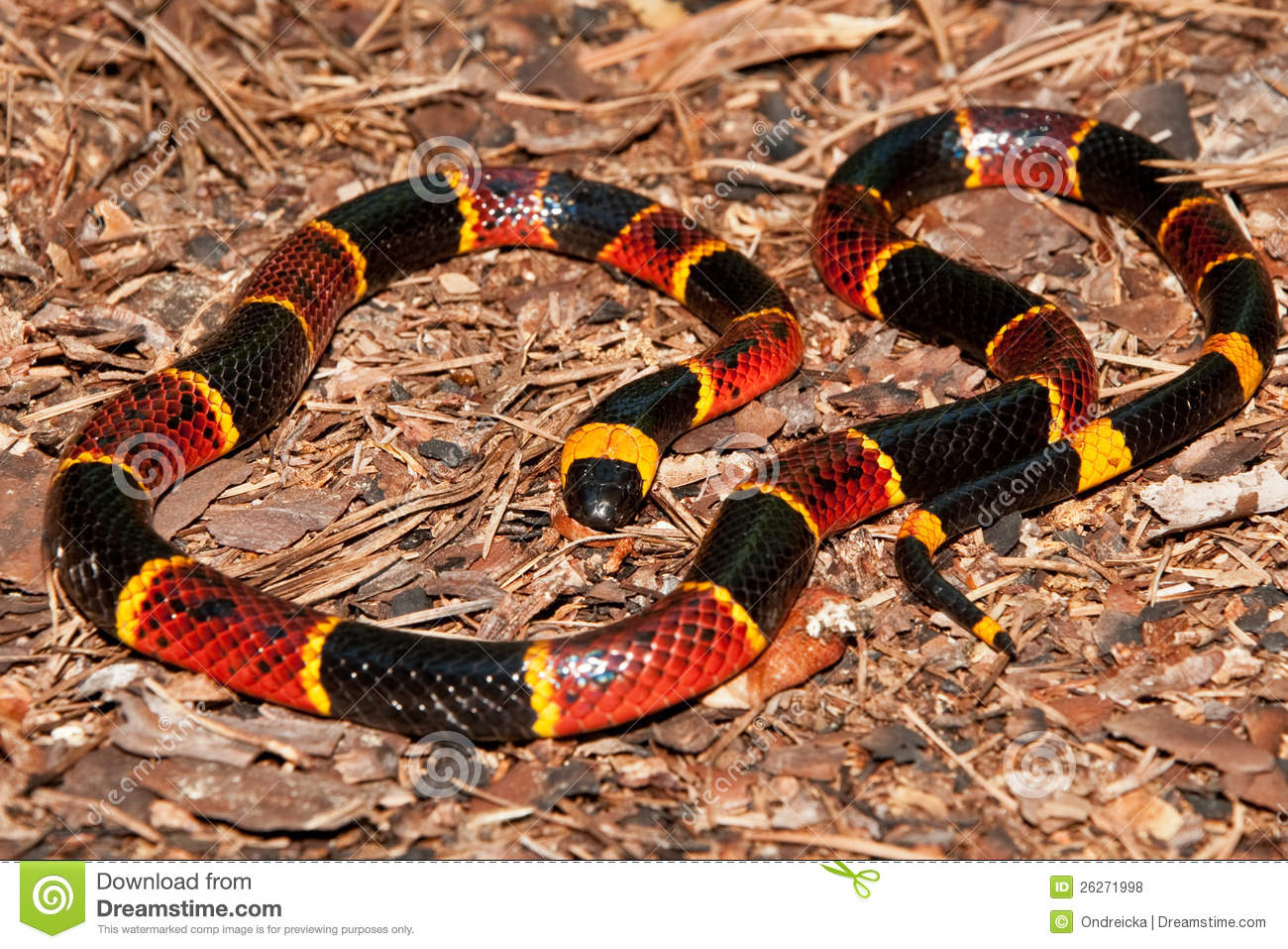 Eastern Coral Snake (Micrurus Fulvius) Stock Photo - Image ...