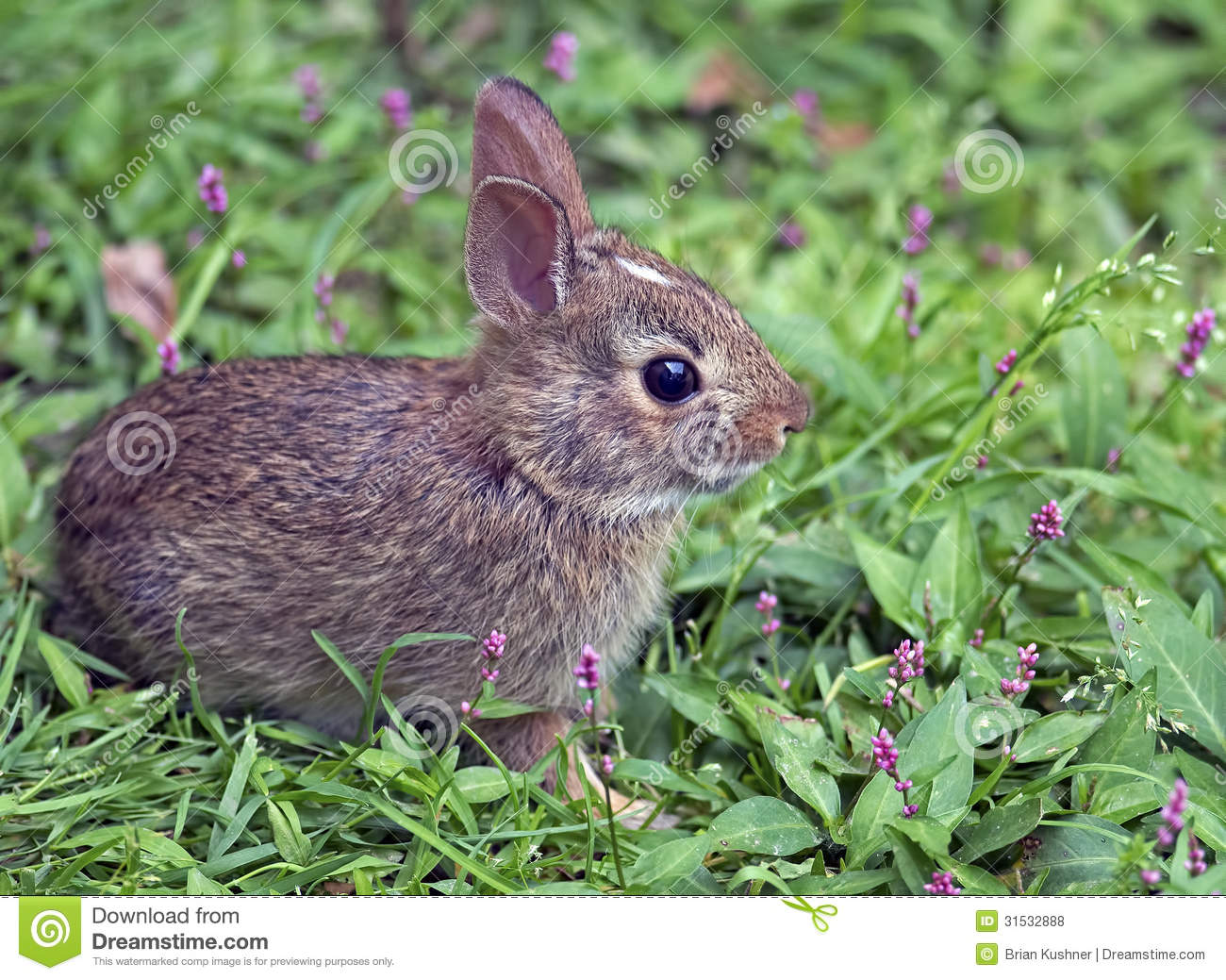 Baby cottontail rabbit - photo#20