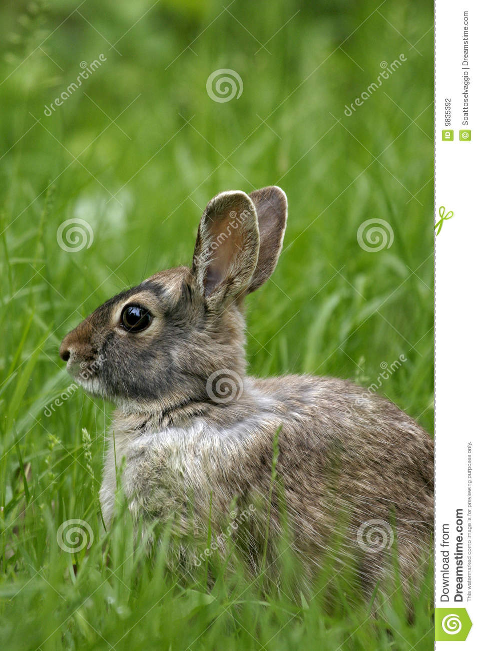 The Eastern Cottontail (Sylvilagus floridanus) in the grass.