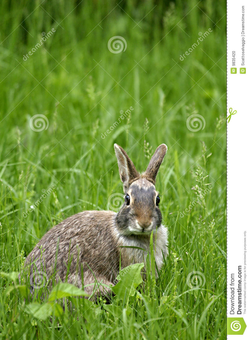 The Eastern Cottontail (Sylvilagus floridanus)