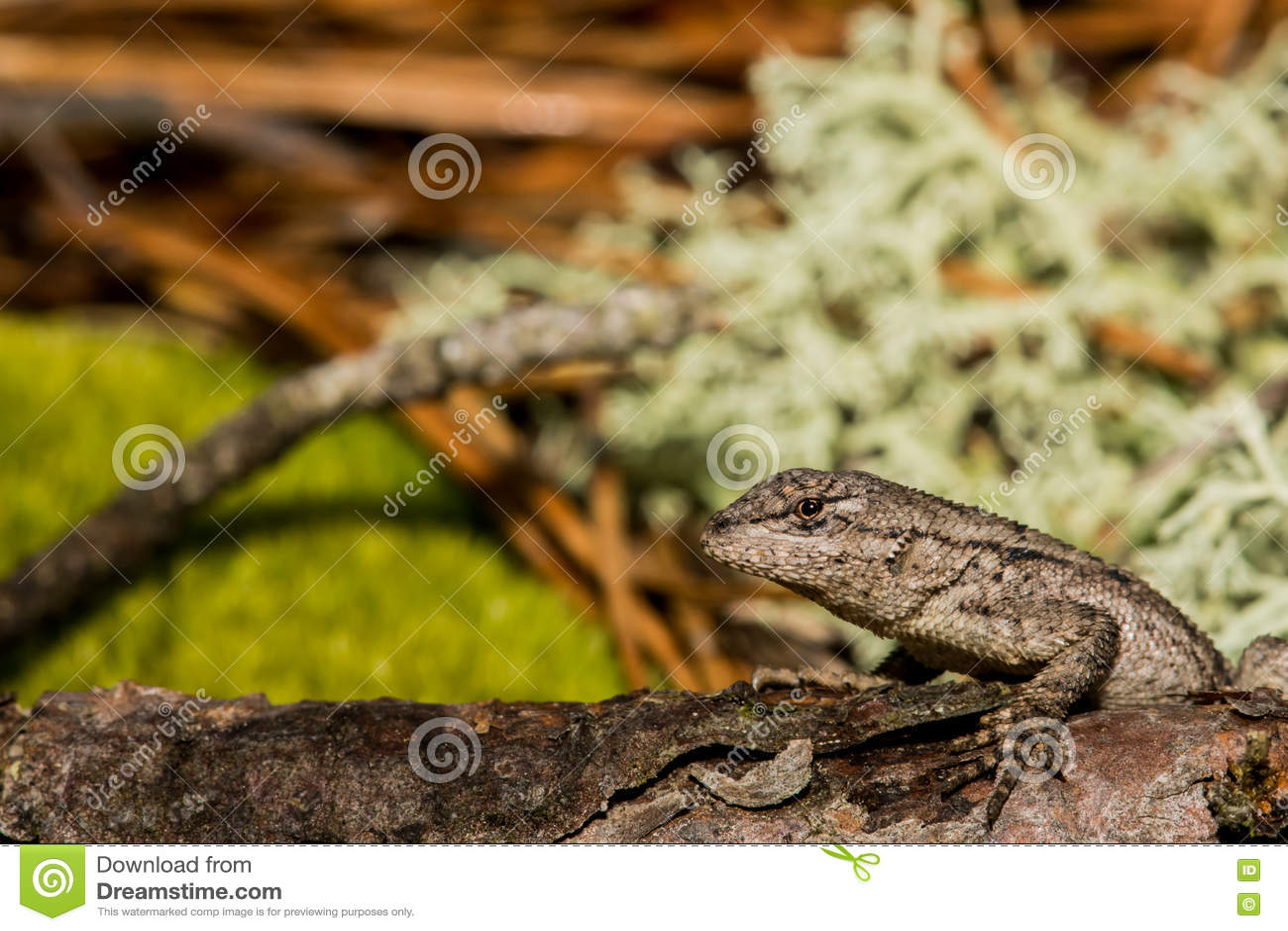 Eastern Fence Lizard Stock Photo Image Of Ecology Fauna 70679786