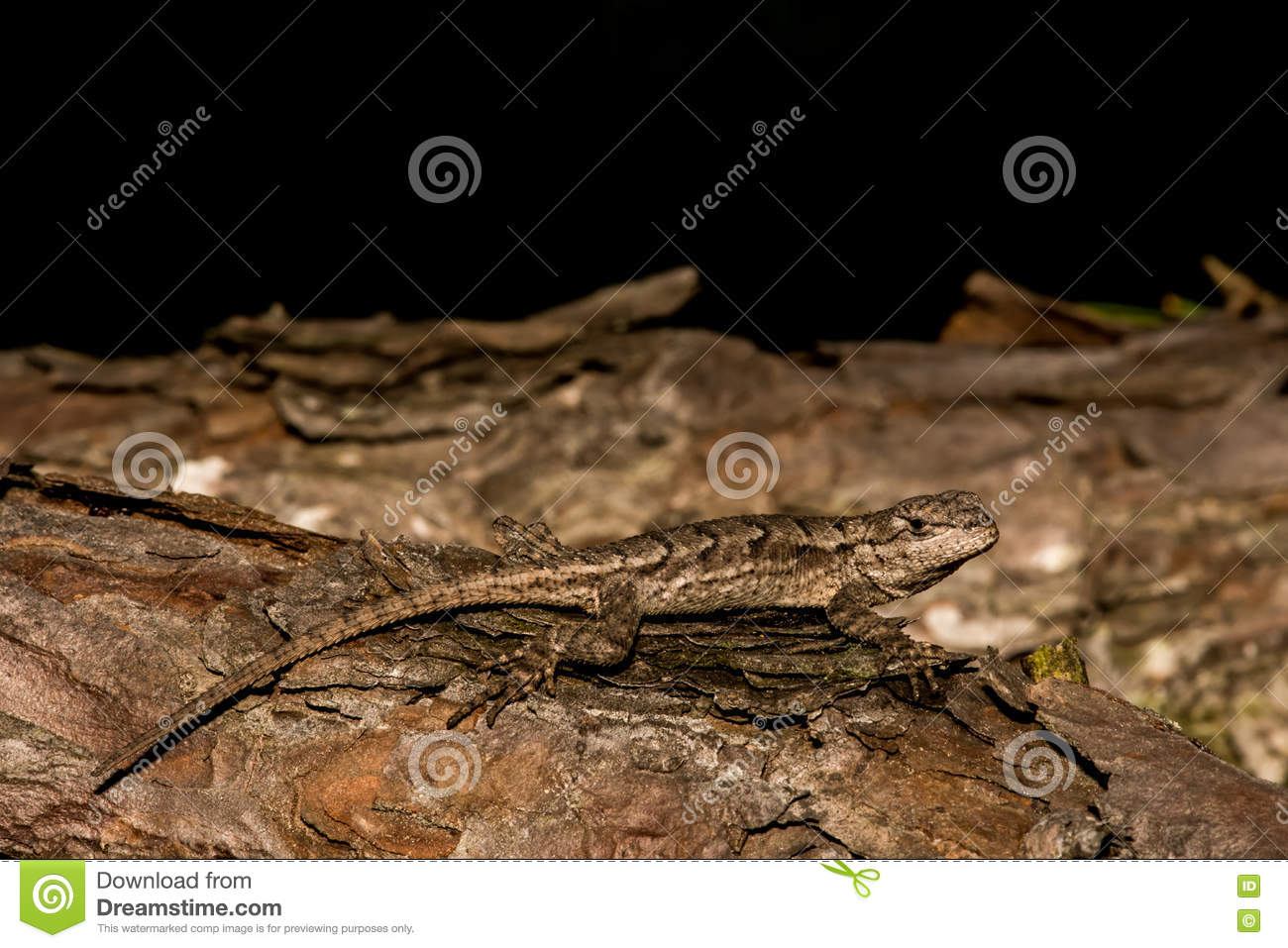 Eastern Fence Lizard Stock Photo Image Of Environment 70805526