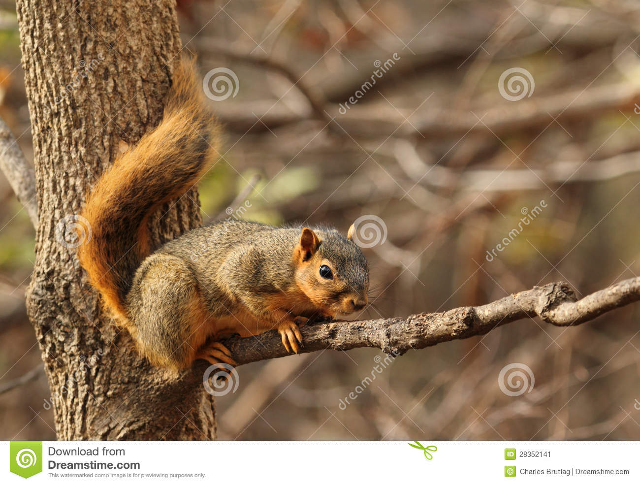 eastern fox squirrel sciurus - photo #7