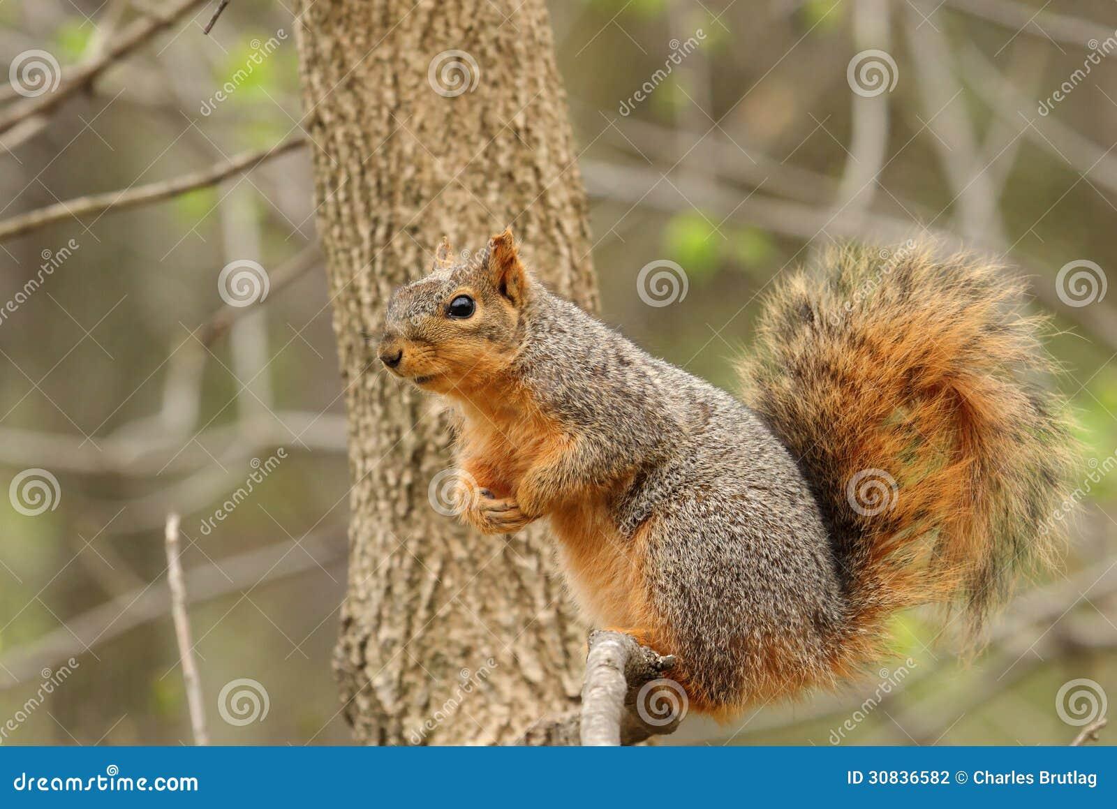 Squirrel, eastern fox