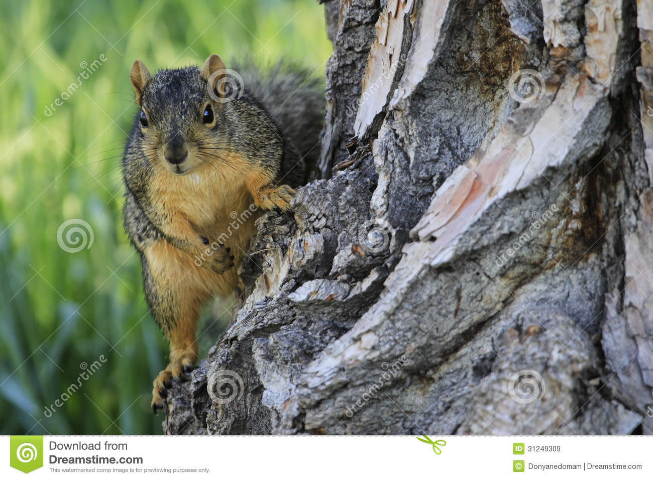 eastern fox squirrel sciurus - photo #18