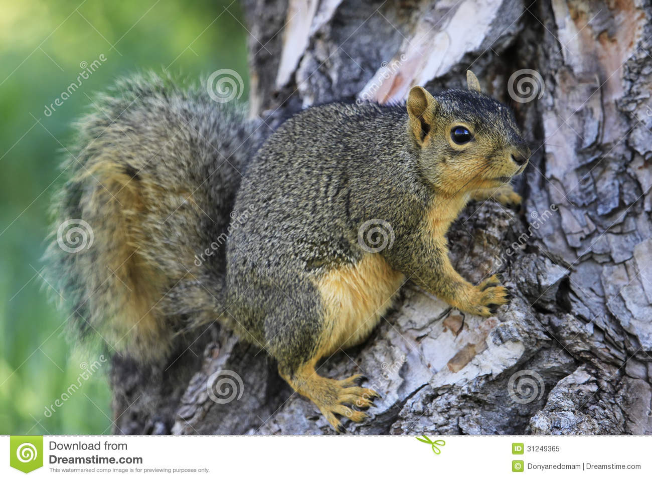 eastern fox squirrel sciurus - photo #1