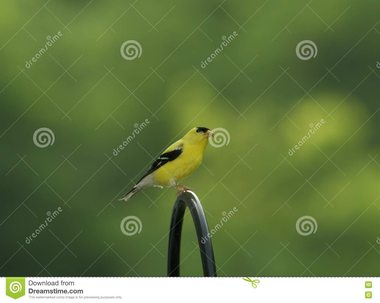 Download Eastern Goldfinch stock photo. Image of yellow, gold, finch - 1056368
