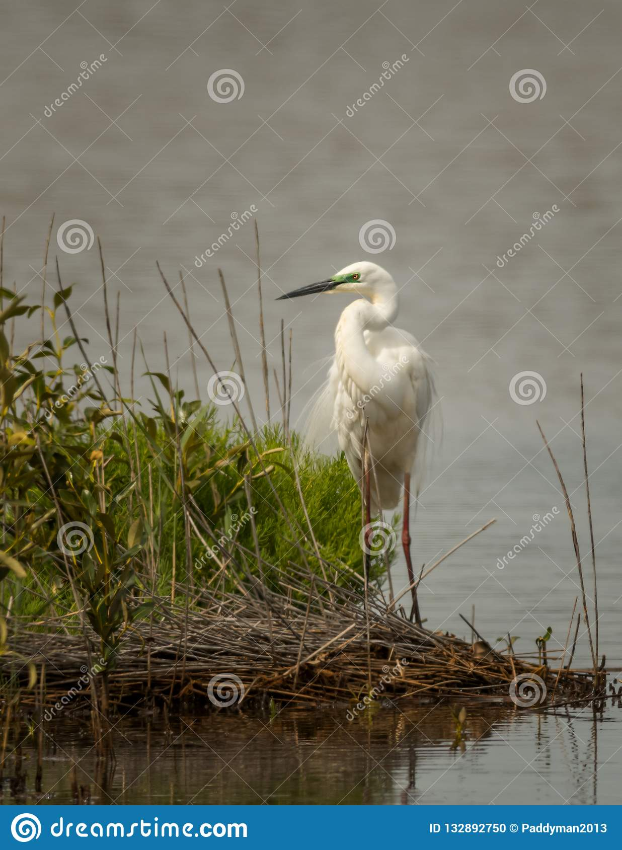 Eastern Great Egret, Ardea modesta.