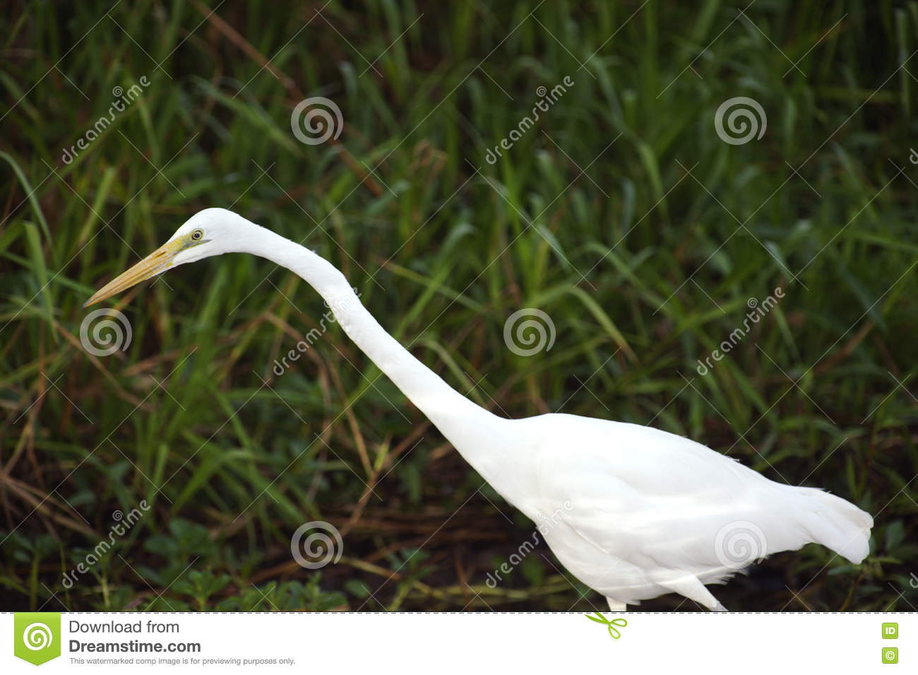 Eastern Great Egret, Yellow River, Australia