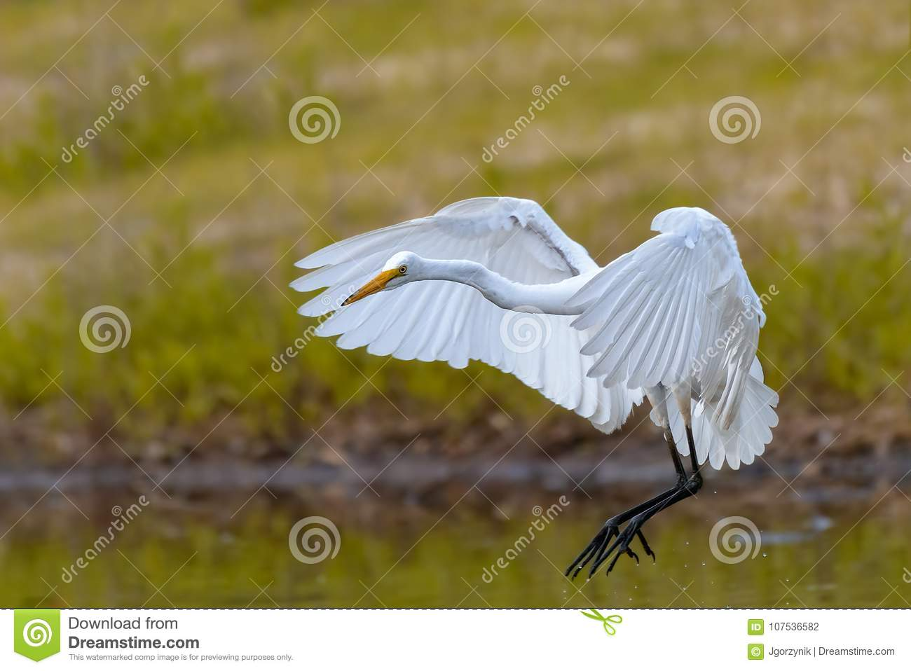 Eastern Great White Egret