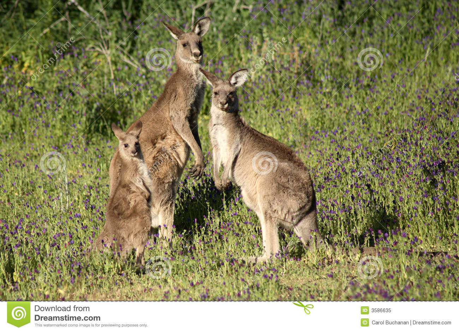 Kangaroo Joey Clipart