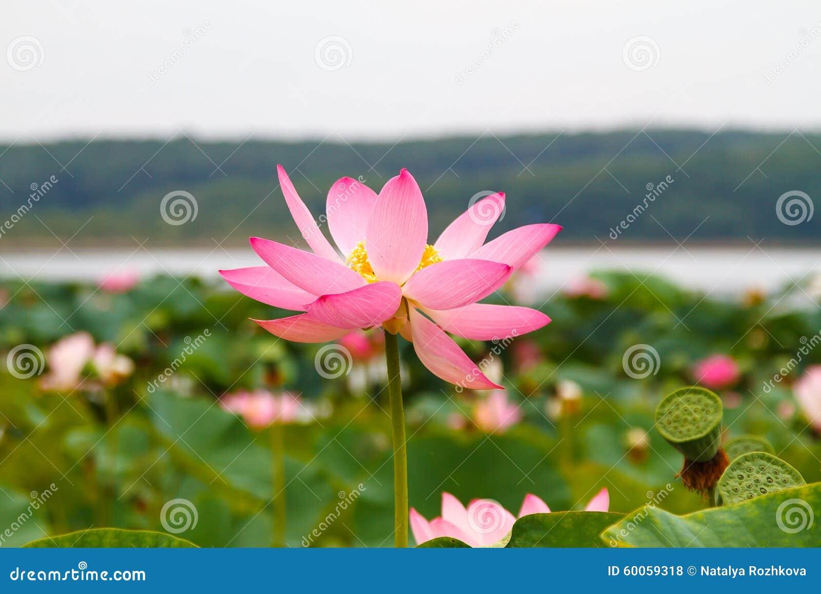 Asian lotus lotus