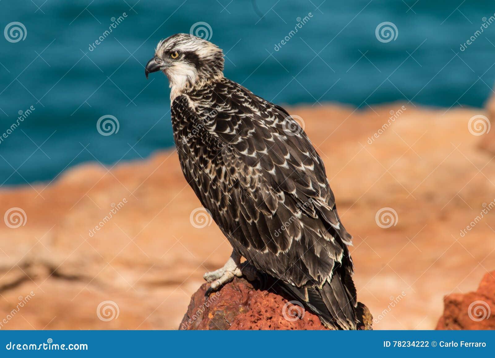fabriek authentiek nieuwe afbeeldingen van bespaar tot 80% Eastern Osprey stock photo. Image of wildlife, bird, hawk ...