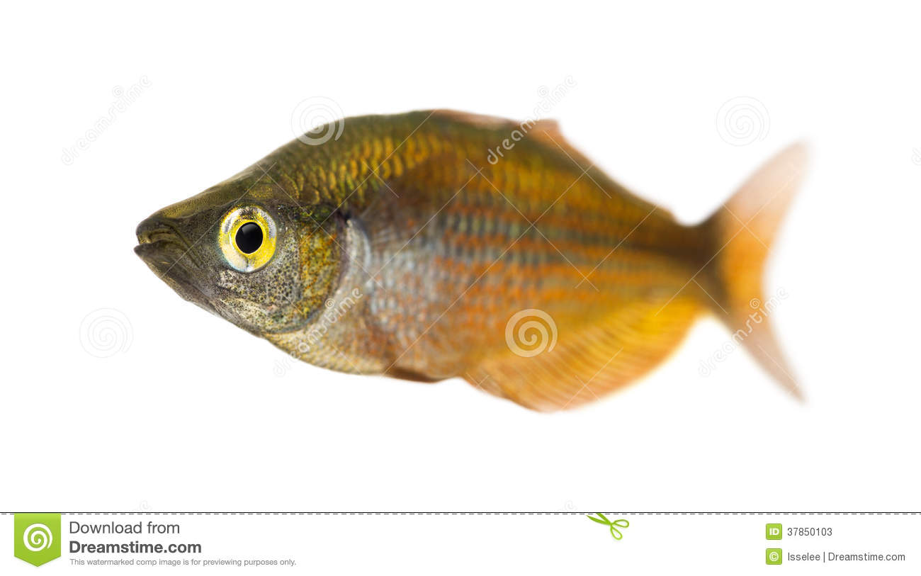 Eastern Rainbowfish, Melanotaenia Splendida Splendida, Isolated Stock ...