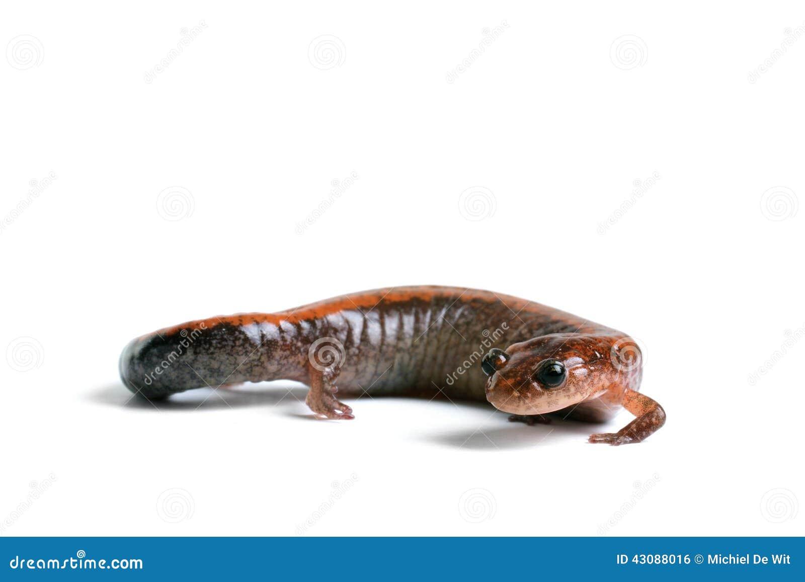 salamander white background - photo #11