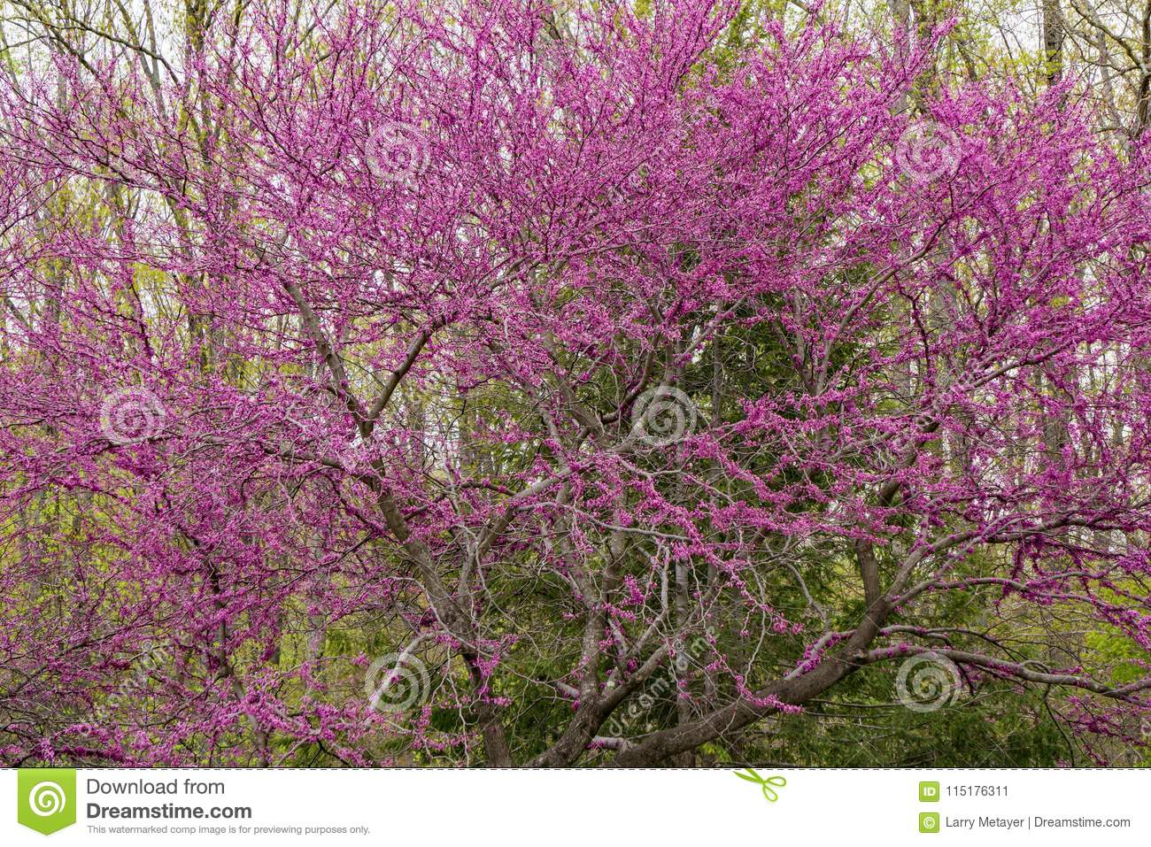 Eastern redbud tree cercis canadensis 3 stock image image of the eastern redbud is one of the first trees to flower in the early spring blooming petite pink flowers in large clusters mightylinksfo