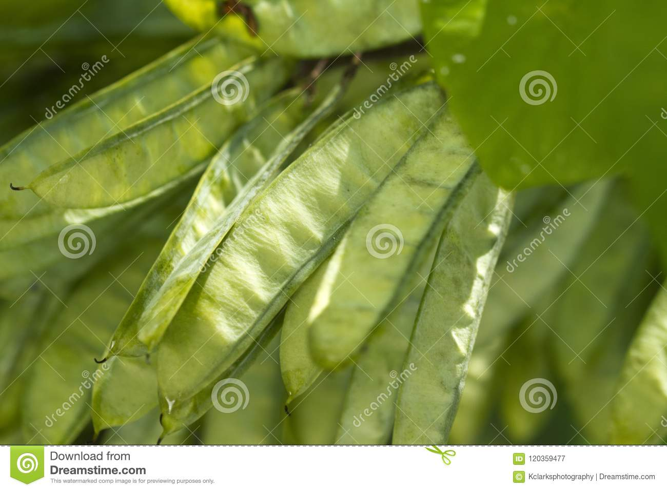Eastern Redbud Seed Pods Cercis Canadensis Stock Image Image