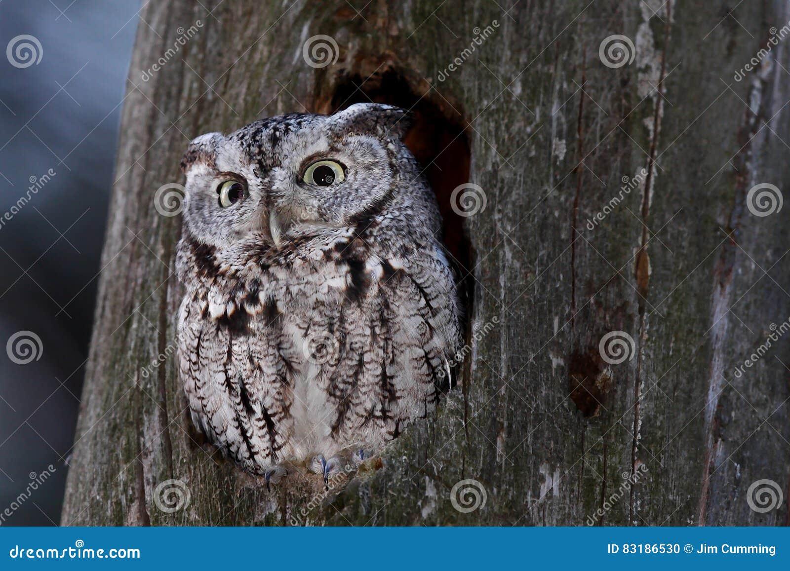 Eastern screech owl in Canada