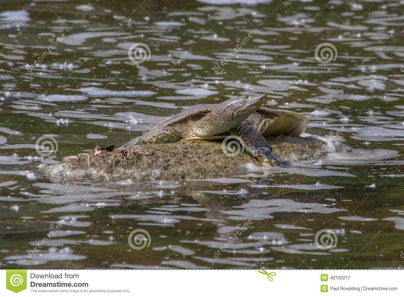 Eastern Spiny Softshell Turtle Stock Photo - Image: 42102217