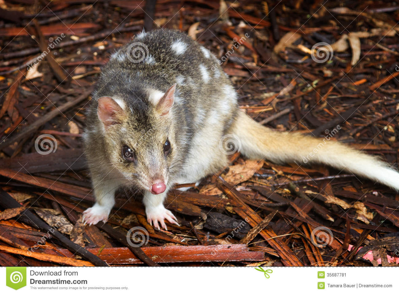 Eastern Spotted Quoll Stock Image Image 35687781