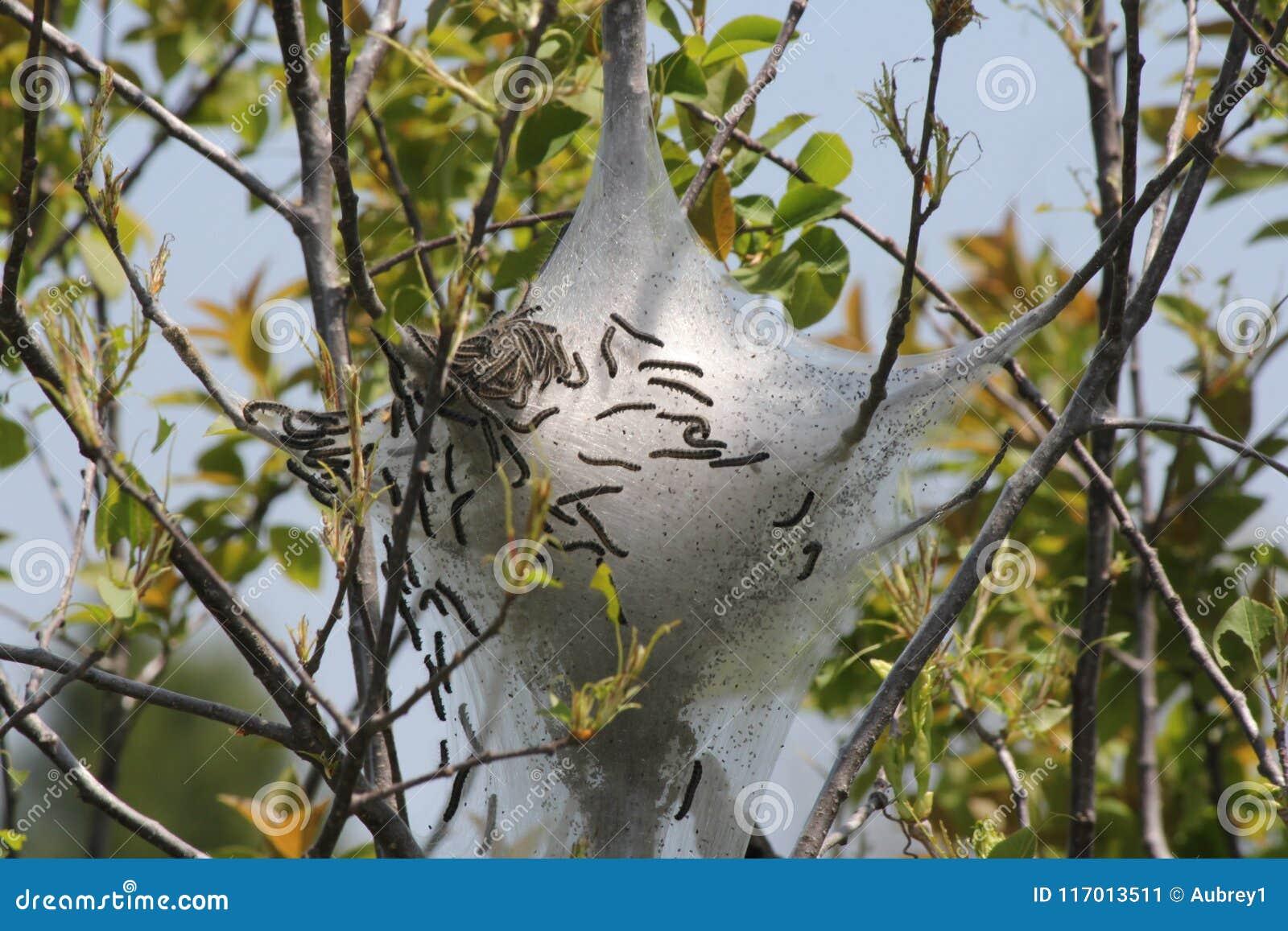 Eastern tent Caterpillar Malacosoma americanum & Eastern Tent Caterpillar Malacosoma Americanum Stock Image - Image ...