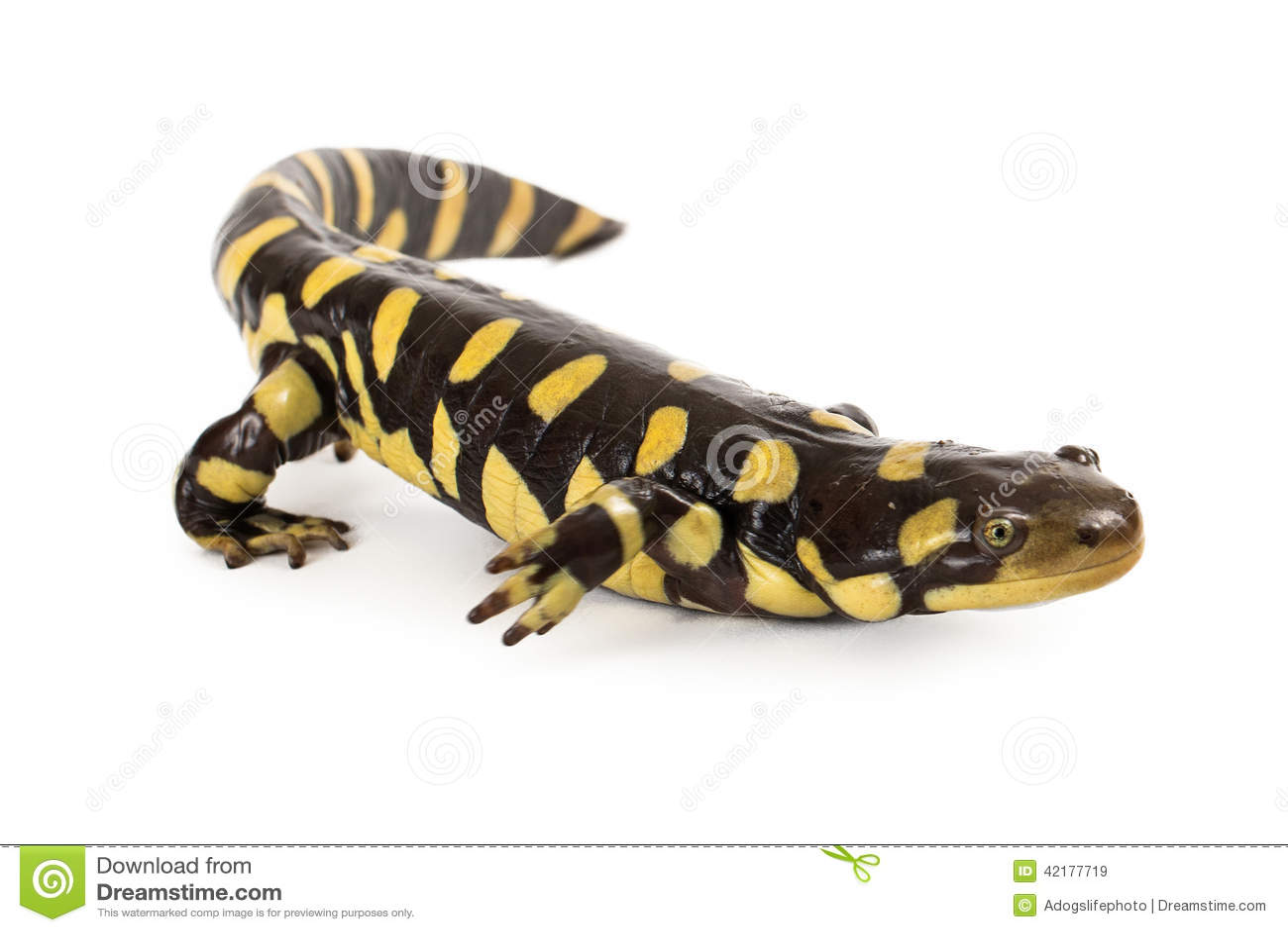salamander white background - photo #35