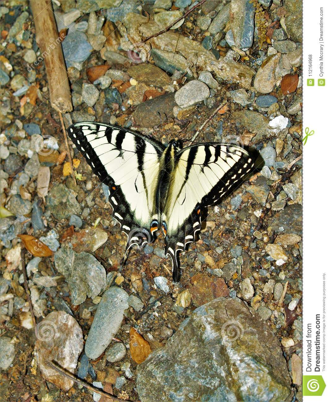 3dece24e4 The eastern tiger swallowtail is a species of swallowtail butterfly native  to eastern North America and is one of the most familiar butterflies in the  ...