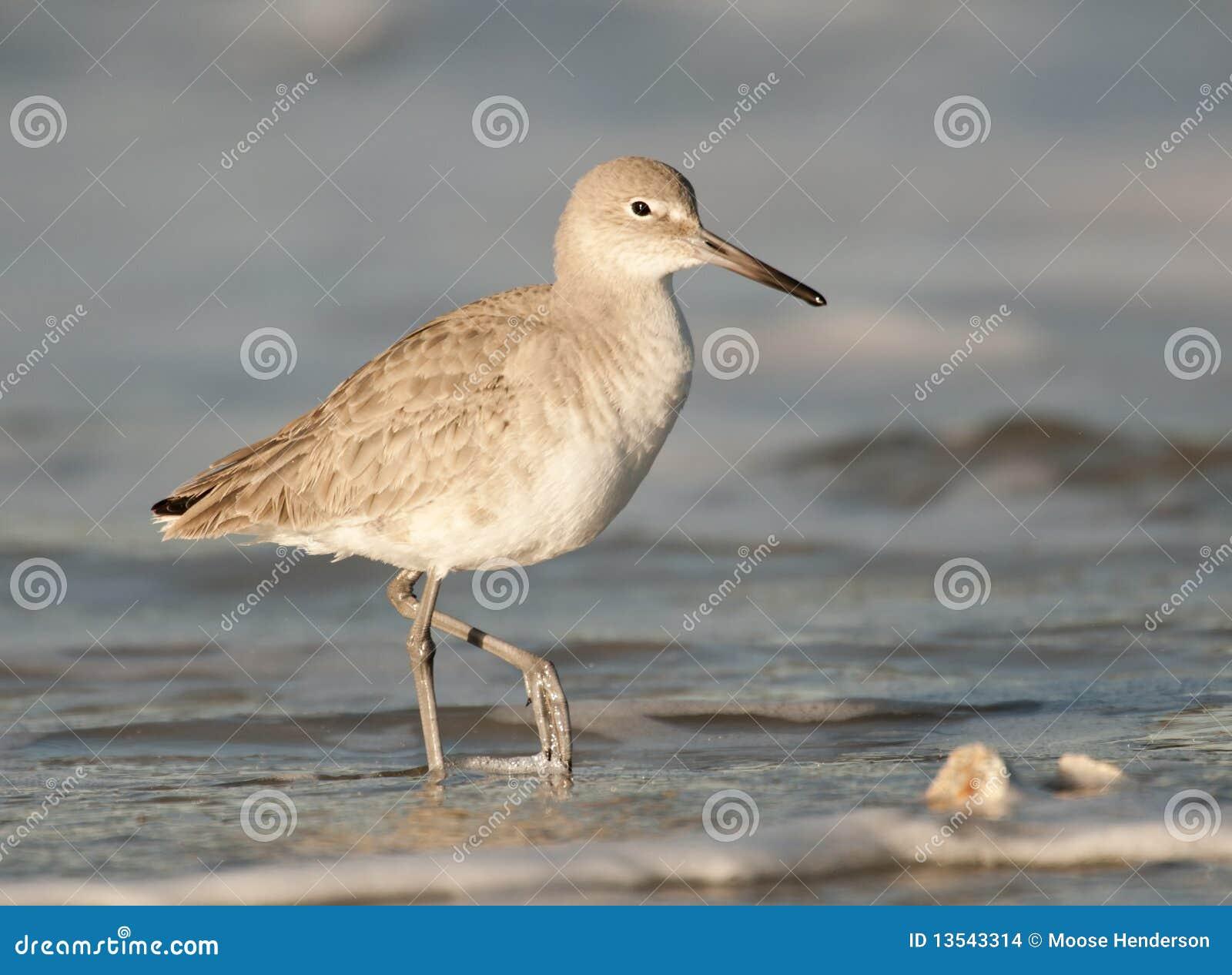 Eastern Willet Shorebird