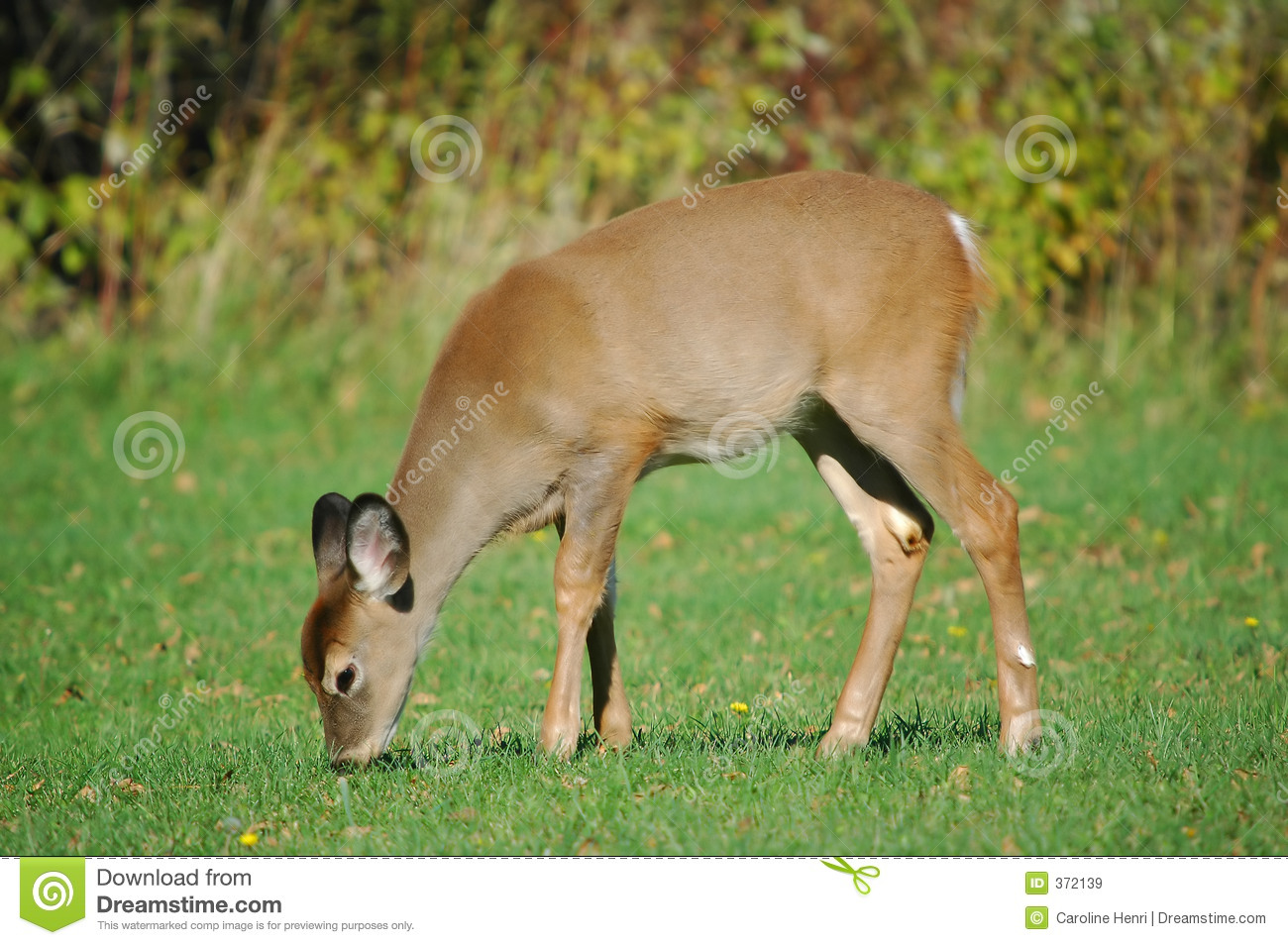 eating baby deer 2 royalty free stock images image 372139
