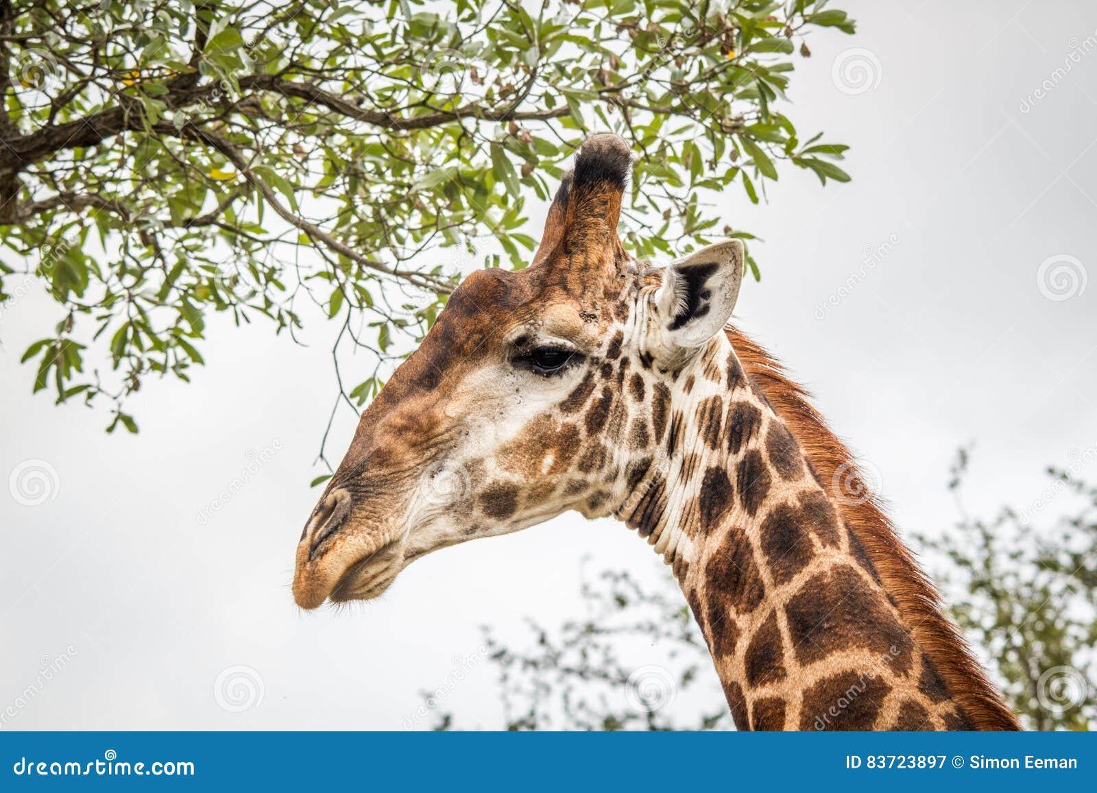 Eating Giraffe In The Kruger. Stock Photo