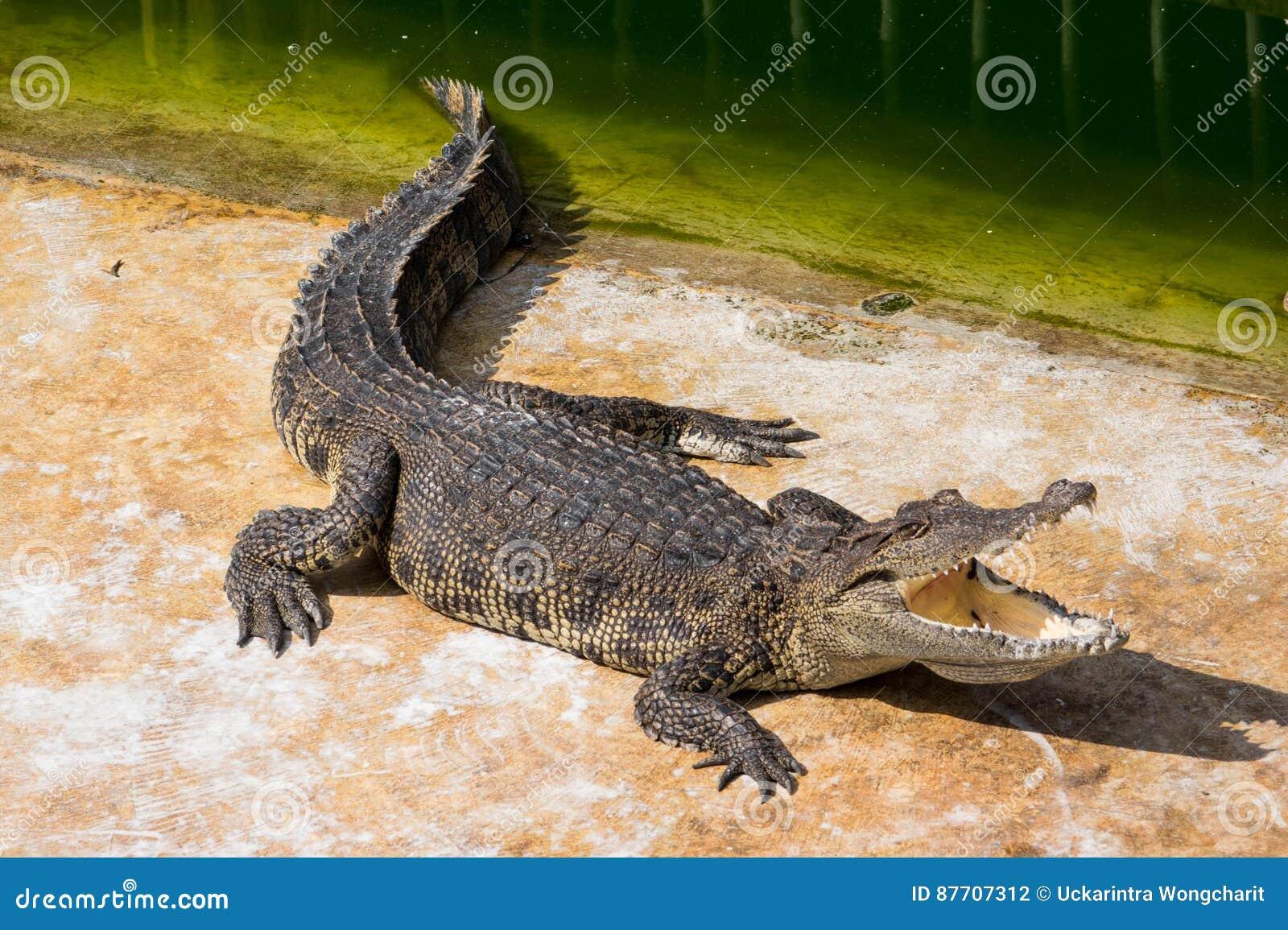 Eau de mer de crocodile