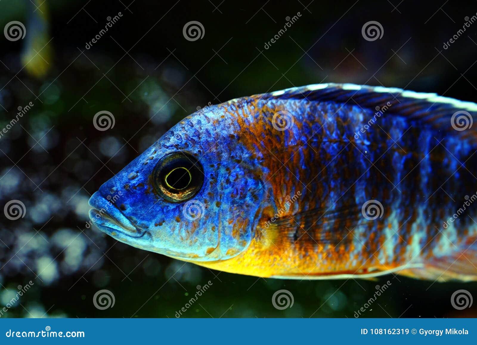 eau douce de poissons d 39 aquarium d 39 aulonocara de cichlid du malawi image stock image du. Black Bedroom Furniture Sets. Home Design Ideas