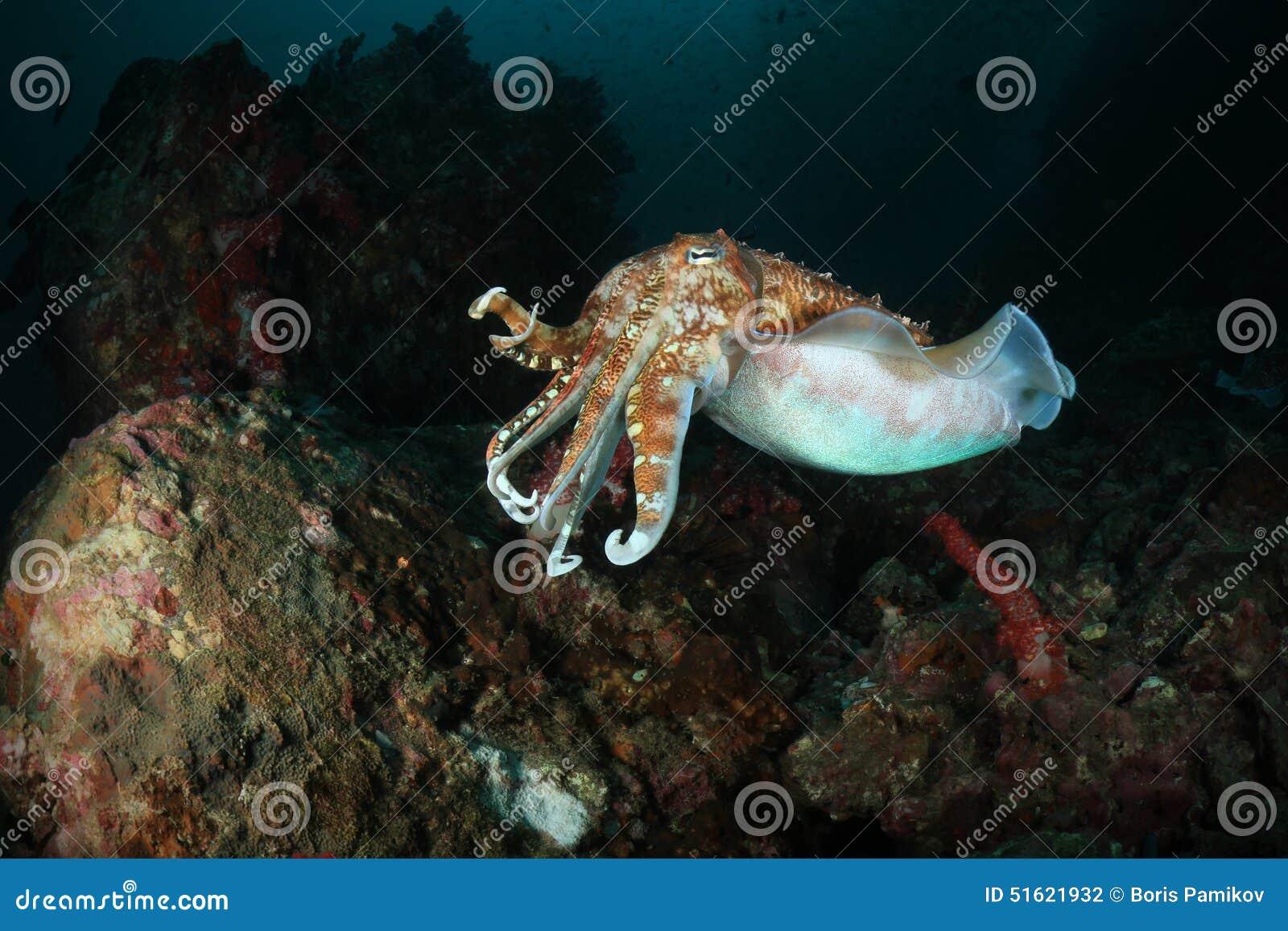 Eau du fond de seiches de mer d Andaman, Thaïlande