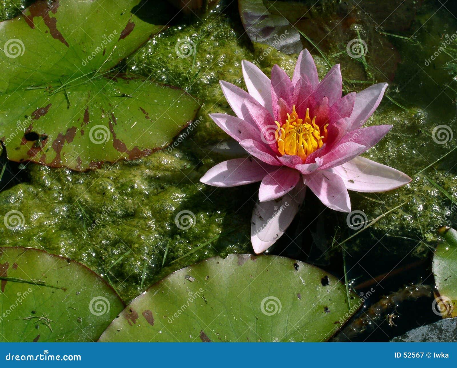 Download Eau-lis image stock. Image du fleuriste, floraison, fragilité - 52567