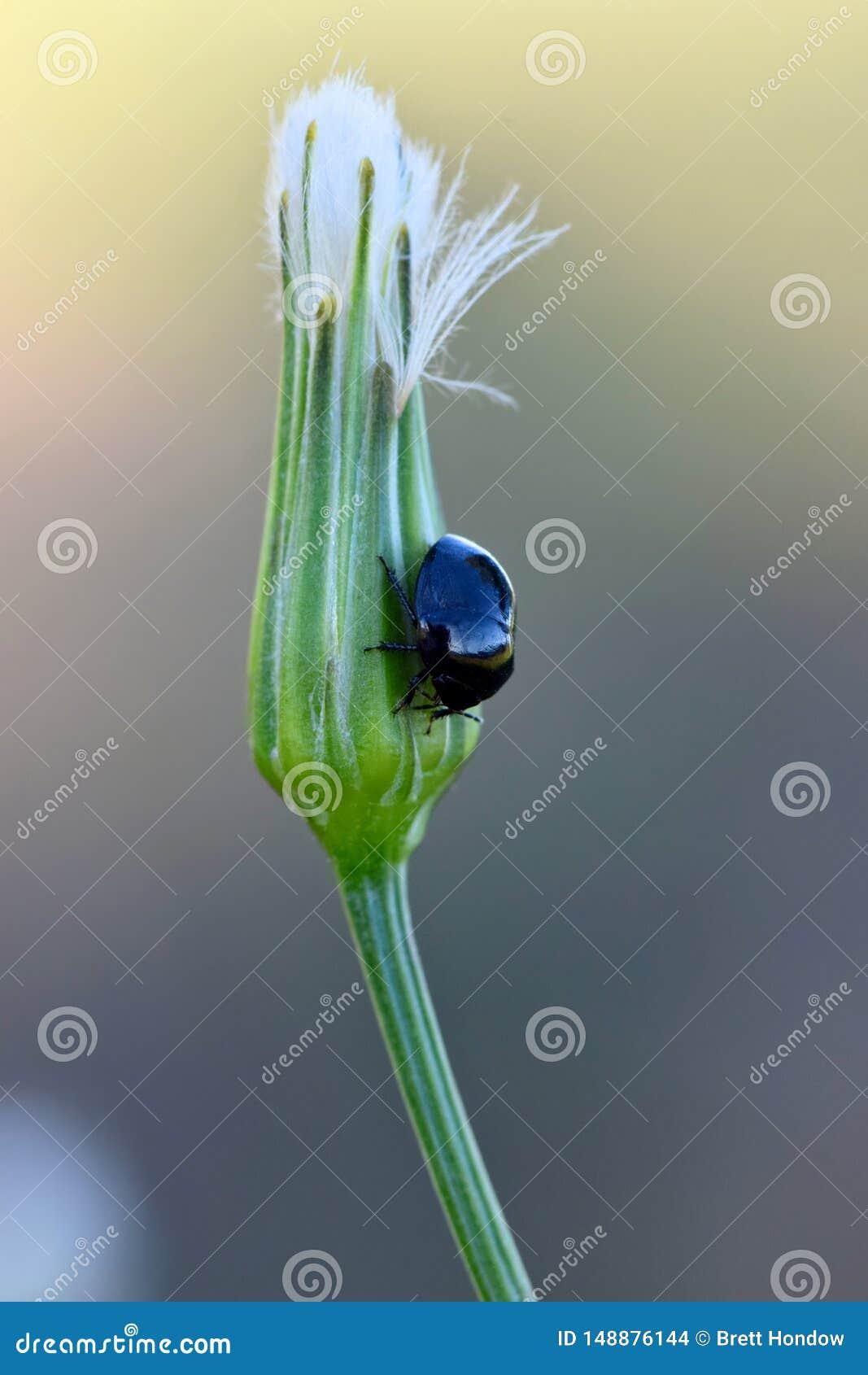 Ebbehouten insect op een Paardebloemknop