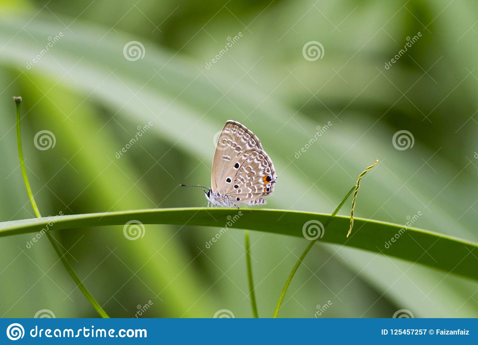 Ebenen-Amor-Schmetterling