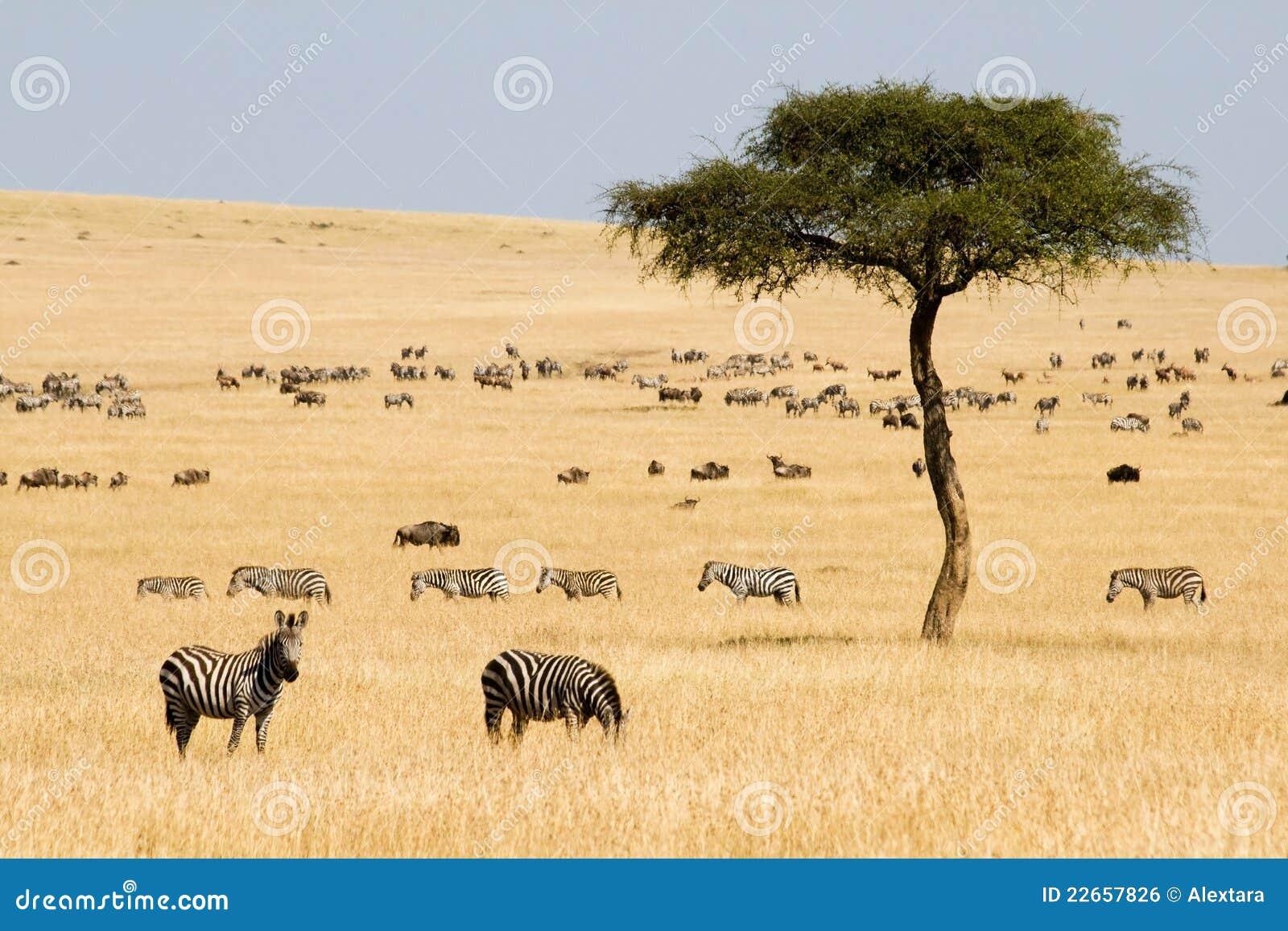 Ebenen Zebras (Equus Quagga) und Gnus